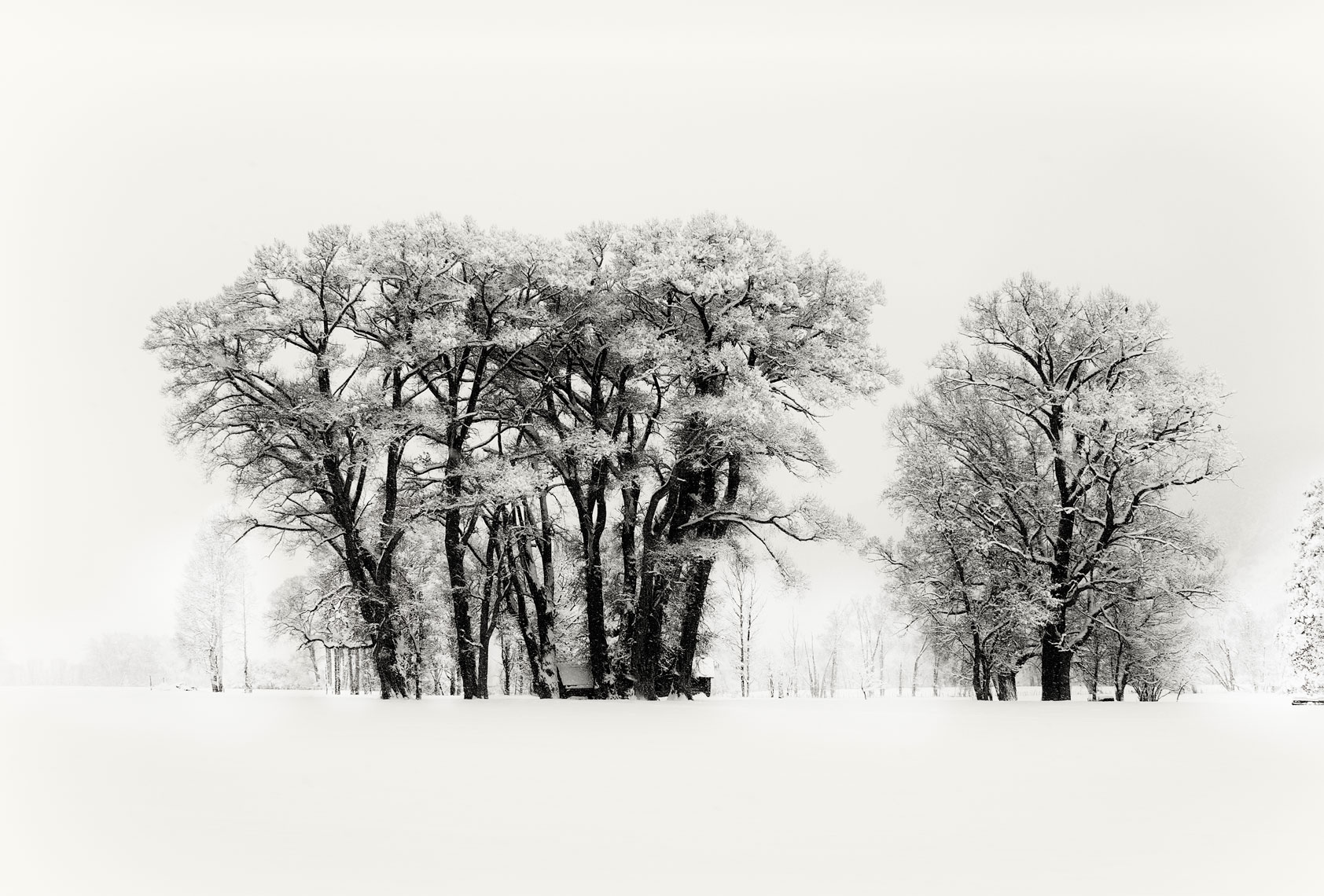 Winter-Cottonwoods