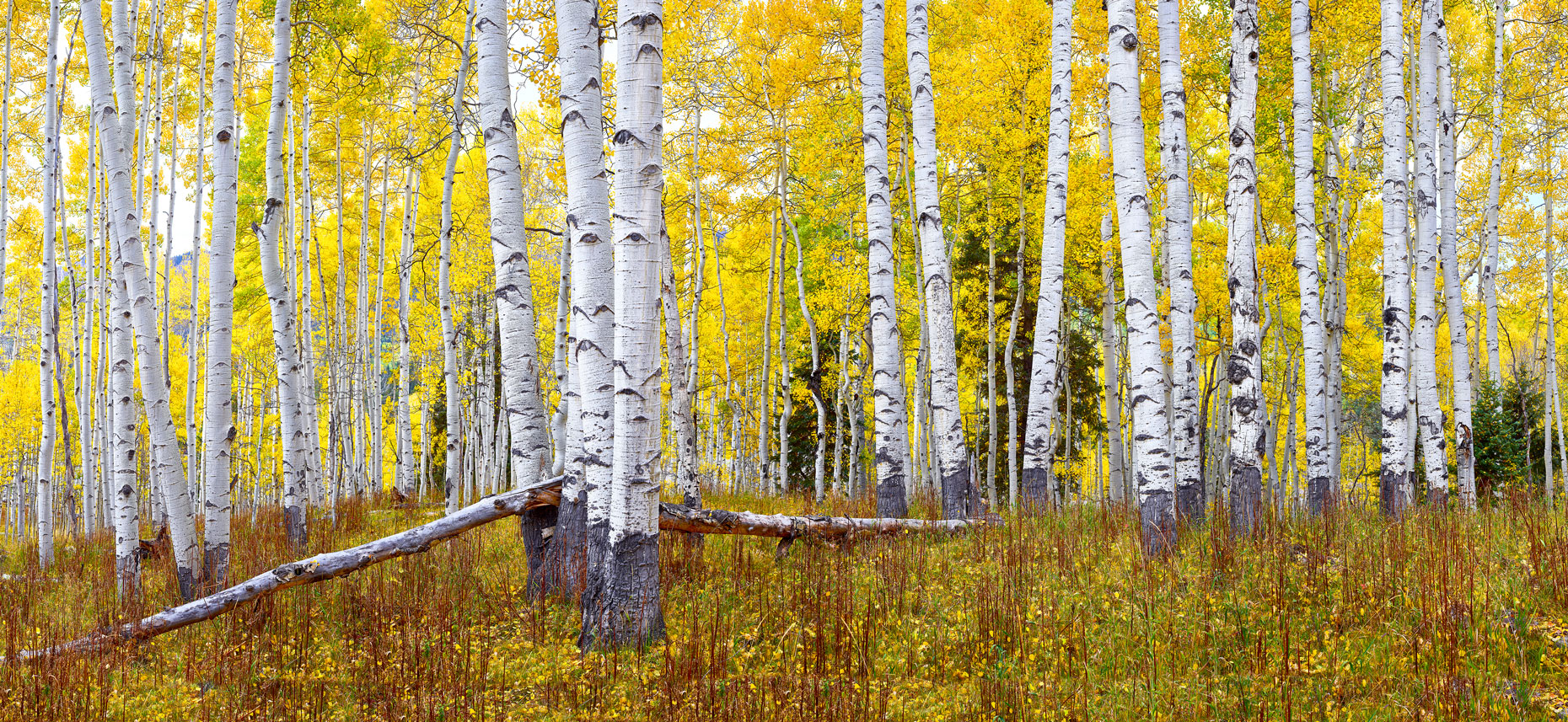 Yellow-Aspen-Forest